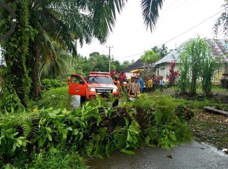 Pohon Tumbang di Lubuk Basung Menghalanggi Jalan
